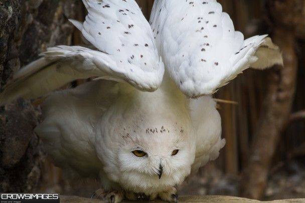 Snowy Owl National Geographic | snowy_owl_papa_pedro_relaxing - National Geographic Photo Contest 2012 ...