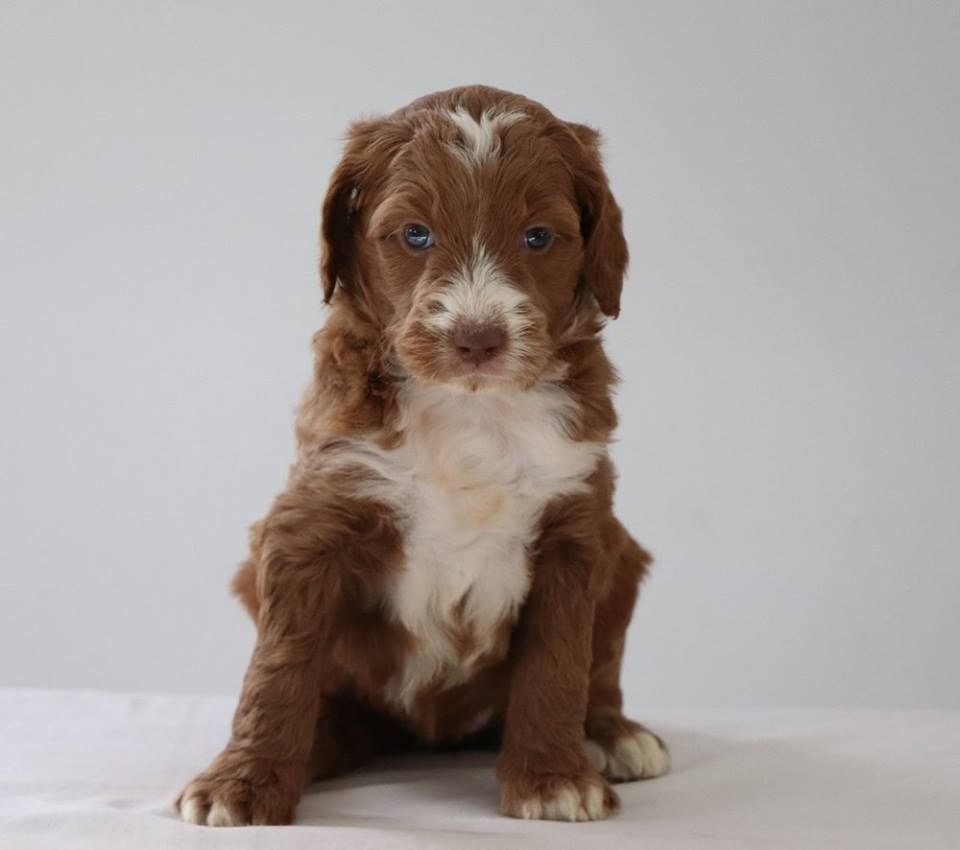 Labradoodle puppies characteristics pictures