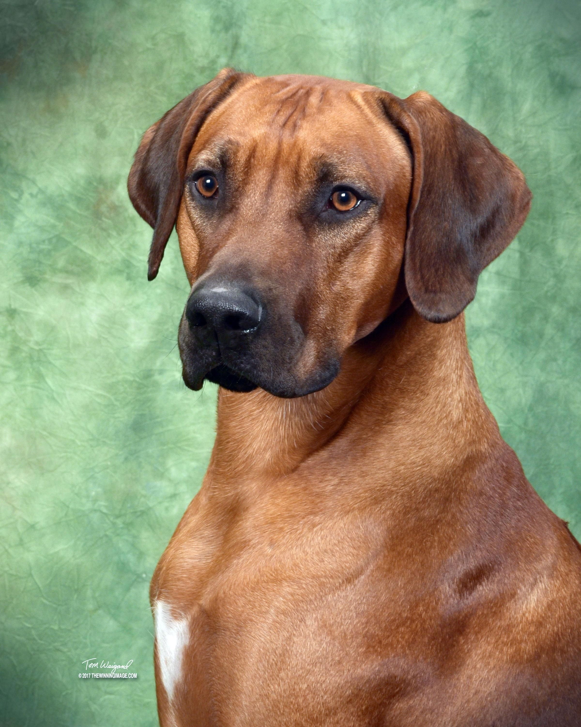 Salem Artemus A Nearly 3 Year Old Rhodesian Ridgeback Is No Stranger To Competition The Decorated Pup Ha Rhodesian Ridgeback Dog Westminster Dog Show Dogs