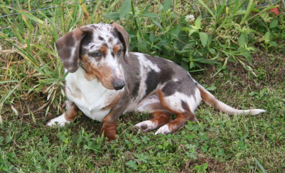 Piebald Beagle Puppy Weiner Dog Puppies