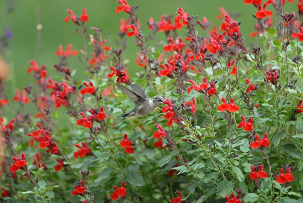 Picture of Live Autumn sage, Texas sage aka Salvia greggii Red Perennial Plant Fit 5 Gallon Pot