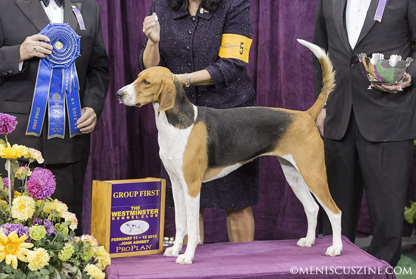 Westminster Dog Show 2013 Best In Hound Group Dogs Dog Show