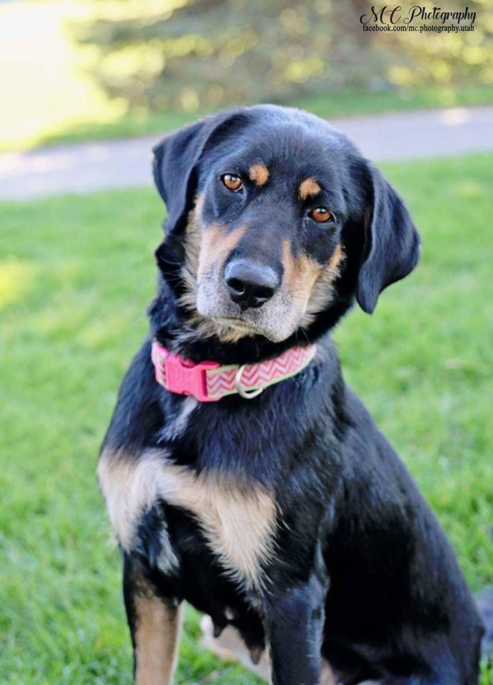 Labrottie Dog for Adoption near Utah, Salt Lake Ci
