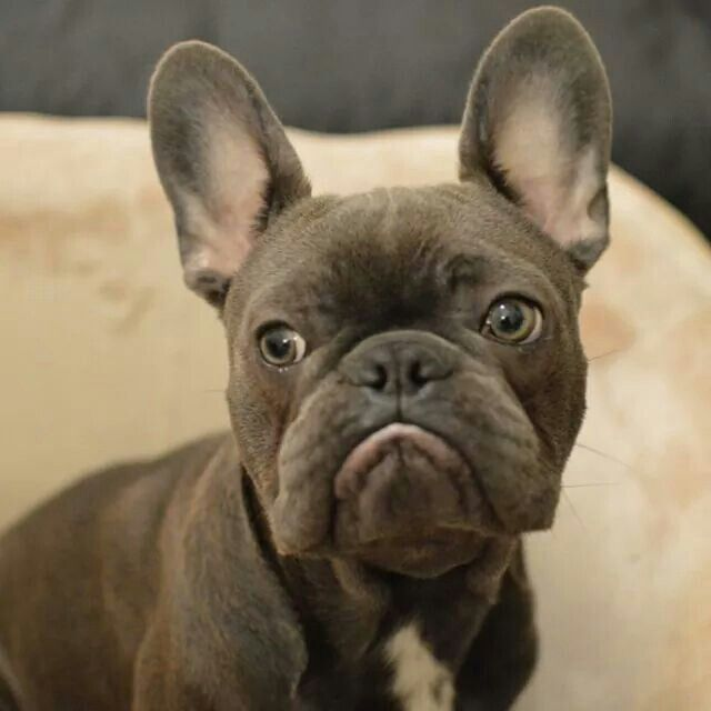Frank, the French Bulldog