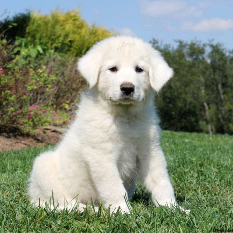 Great Pyrenees Puppies For Sale Pyr Puppies Great Pyrenees