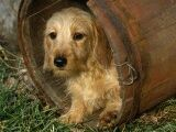 Blond wirehaired