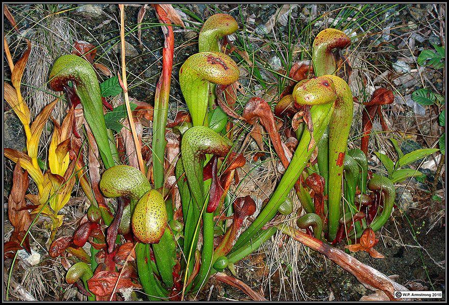 05ffa44d5e79cd18dad7ae7c97dcb99d - Daftar Tumbuhan Karnivora yang Mengagumkan