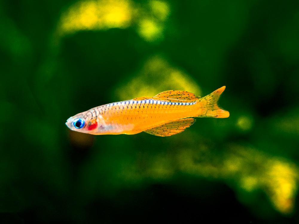 Red Neon Blue Eye Rainbowfish Pseudomugil Luminatus Tank Bred