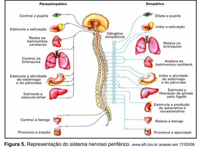 sistema endocrino y sus partes - Buscar con Google
