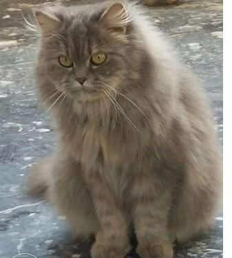 Triple Coated Punched Persian Cats Pair Grey Female N Fawn Male