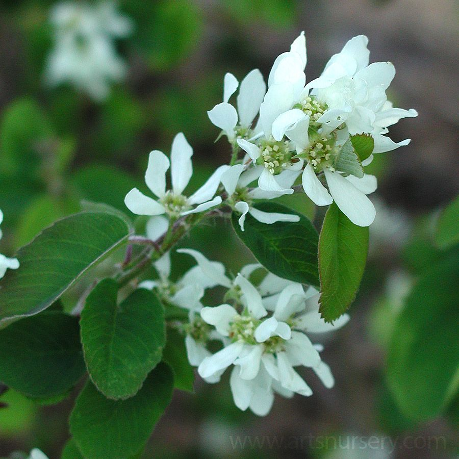 Tree with small white flowers image collections flower decoration alternate text plants pinterest small trees deciduous trees with increasing urbanization and smaller yards small trees mightylinksfo Image collections