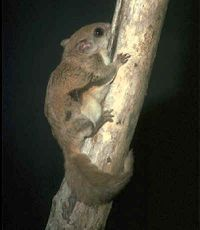 New World flying squirrel