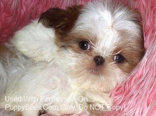 Shih Tzu Dog Puppy Website Listings At Puppysites Com Cute Cats And Dogs Shih Tzu Dog Shih Tzu