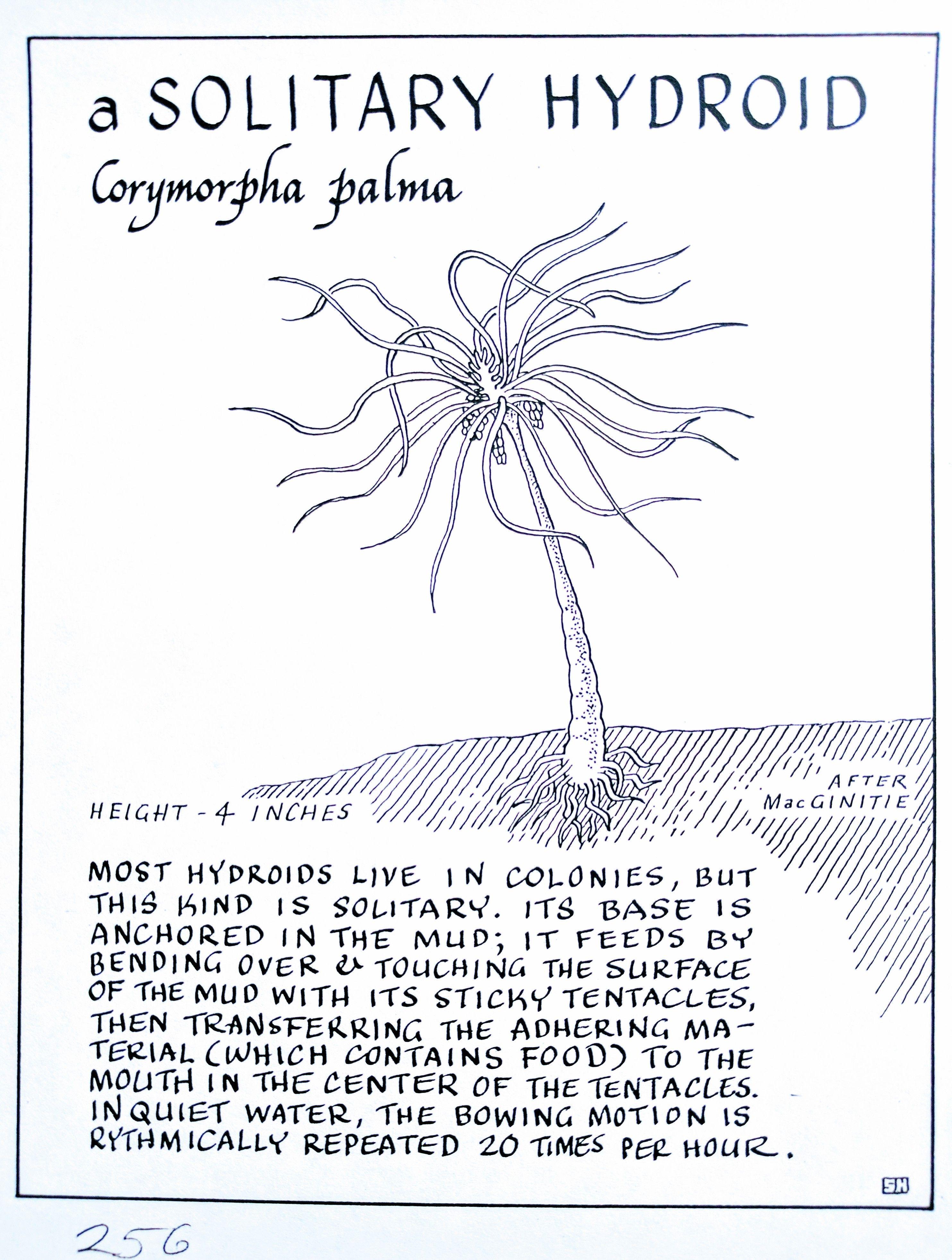A Solitary Hydroid Corymorpha Palma