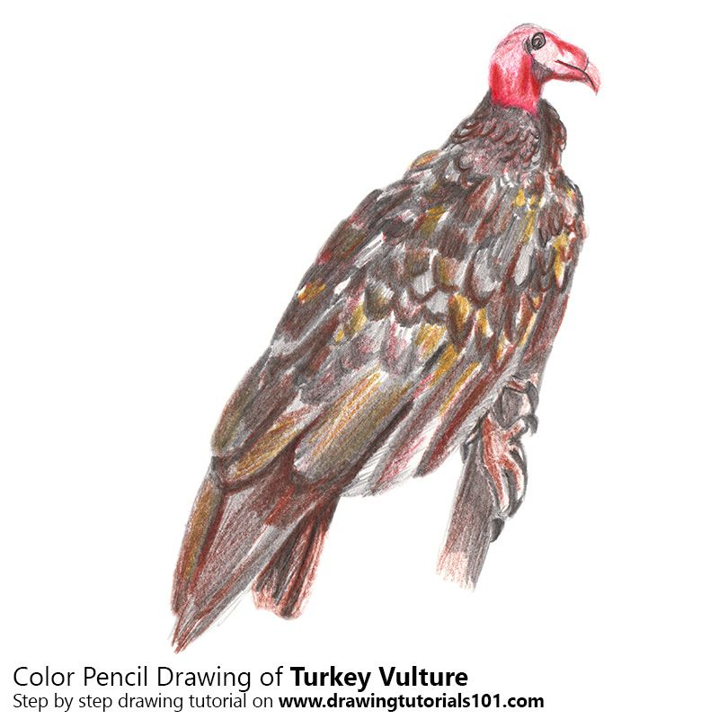 Turkey Vulture With Color Pencils With Images Pencil Drawings