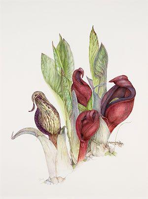Wherescienceandartmeet Artist Linda Heppes Funk Skunk Cabbage 26 X 19 5 Watercolour Graphite Fabr Botanical Artwork Botanical Art Science Illustration