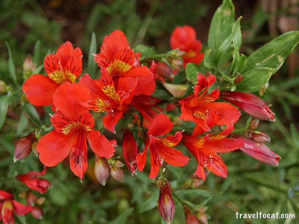 peruvian lilies alstroemeria red hybrid auckland new zealand plants flowers and gardens. Black Bedroom Furniture Sets. Home Design Ideas