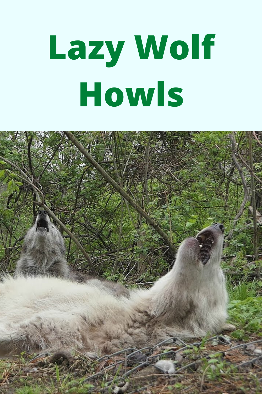 The Funniest Wolf Howls Are Lazy Ones Wolf Conservation Center Wolf Howling Wolf Conservation Center Funny Wolf