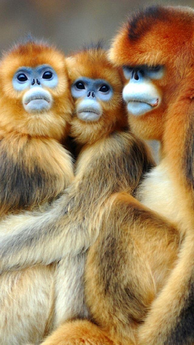 Snubnose Monkeys Cute Animal Photos Cute Animals Zoo Animals