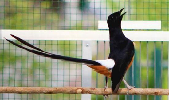 Http Hargacara Com Harga Burung Murai Batu Html Batu Pet Birds Bird Photo
