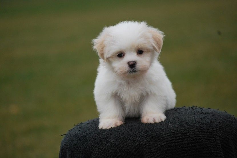 Puppies And Kids Puppies For Sale In Rochester Mn Teddy Bear Puppies Teddy Bear Dog Puppies