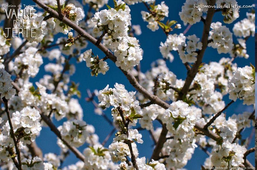 Recomendaciones Para Disfrutar La Floracion Bloom Blossom Spring Pictures Michigan Cherries