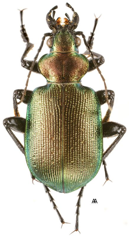 Calosoma Inquisitor Found In Northern Africa Europe Northward To Scandinavia And Asia This Ground Beetle Is Weird Insects Bugs And Insects