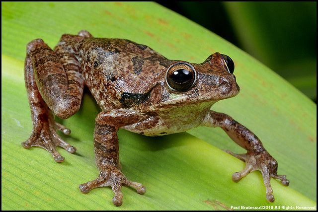 Mexican Tree Frog, Baudin's Tree Frog or Van Vliet's Frog (Smilisca baudinii) | Flickr - Photo Sharing!