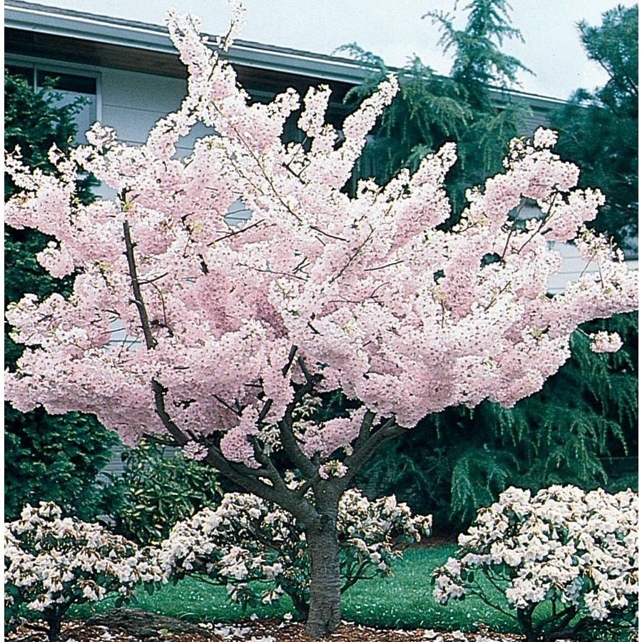 5 98 Gallon Yoshino Flowering Cherry Flowering Tree L3234 Lowes Com Flowering Trees Potted Trees Flowering Cherry Tree