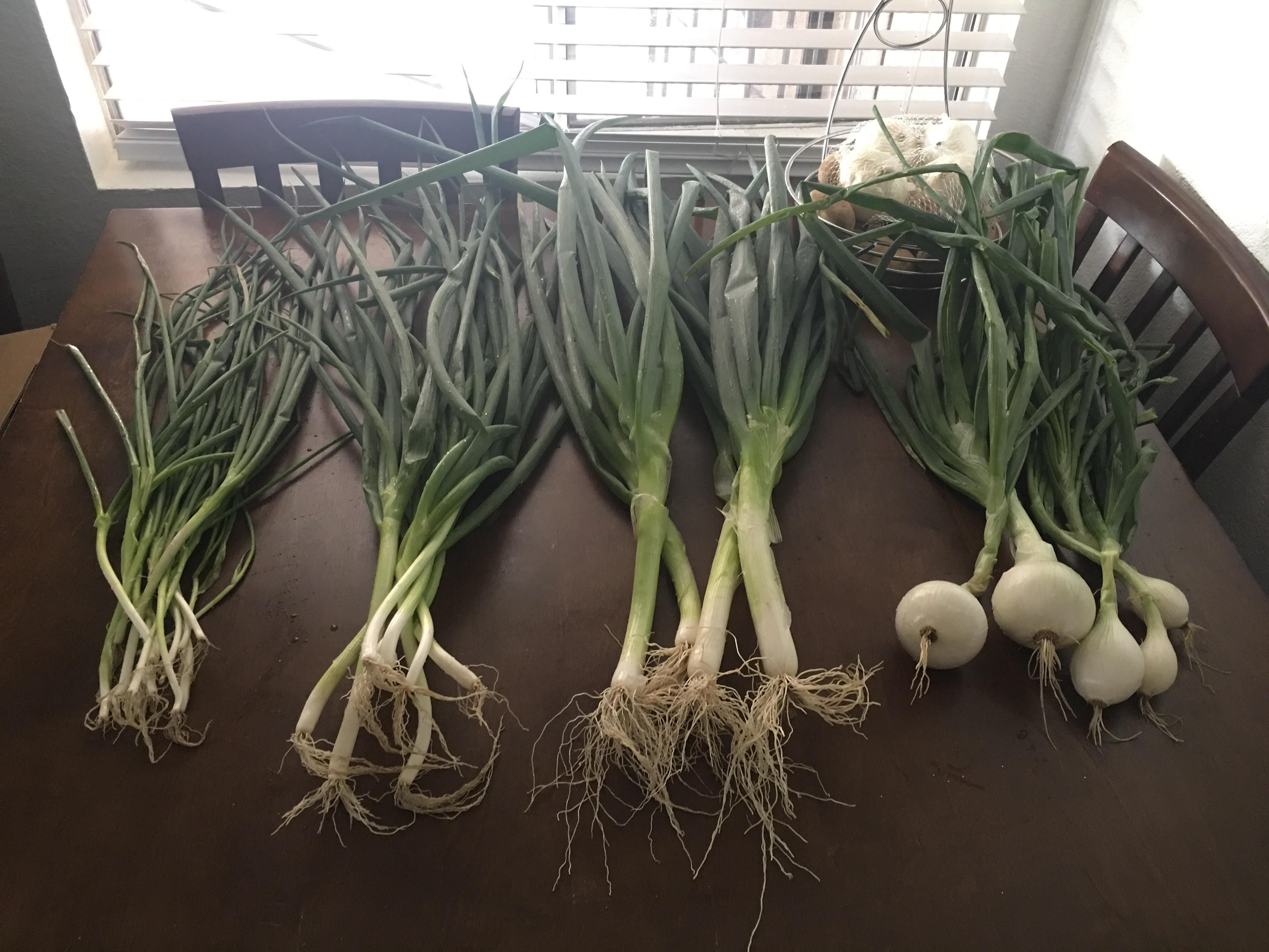 Our first harvest socal home garden chives scallions