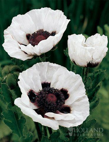 white poppies flowers | White Poppies ( Amapolas Blancas). | Pinterest