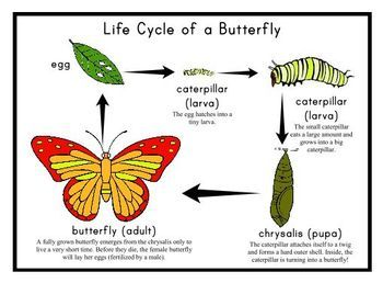 free grade 2 life cycle of a butterfly printable ...
