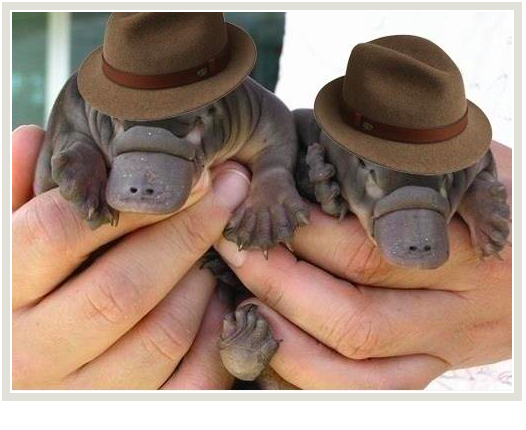 Platypus with Borsalino's