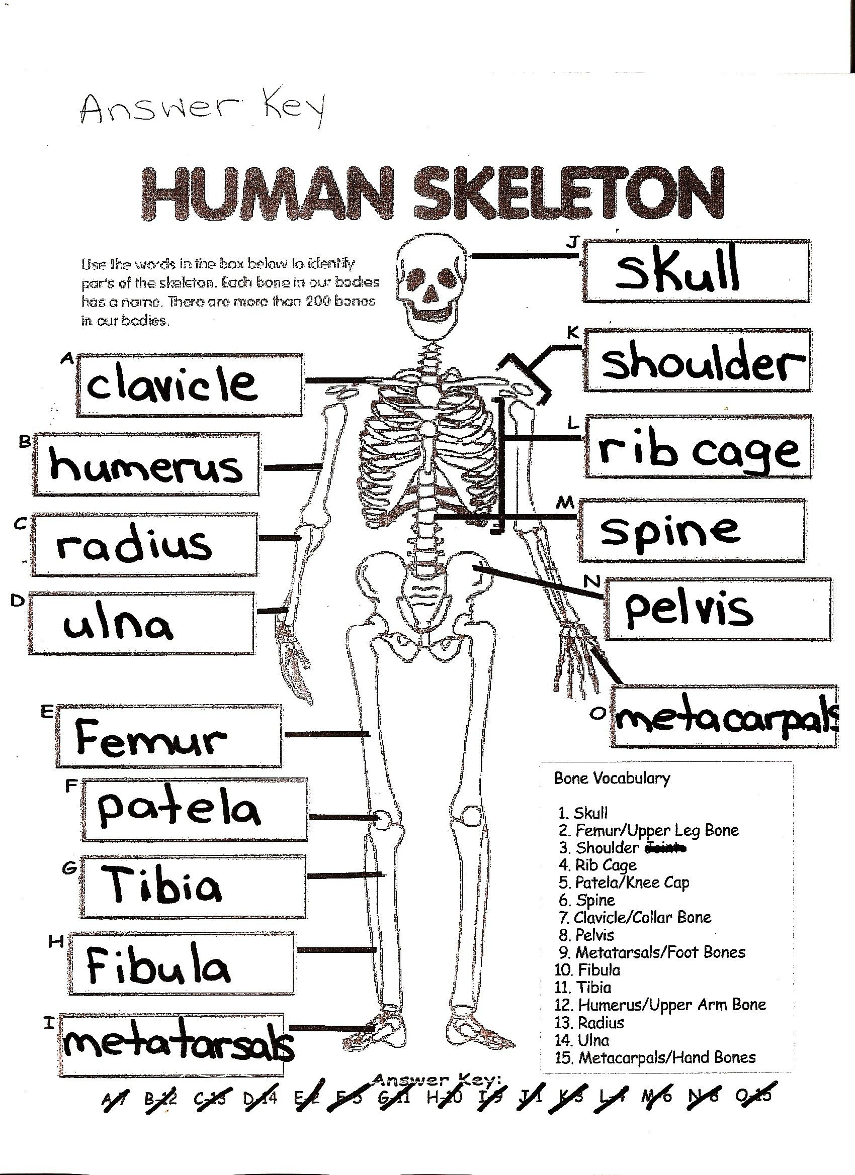7 General The Skeletal System Worksheet Answers In