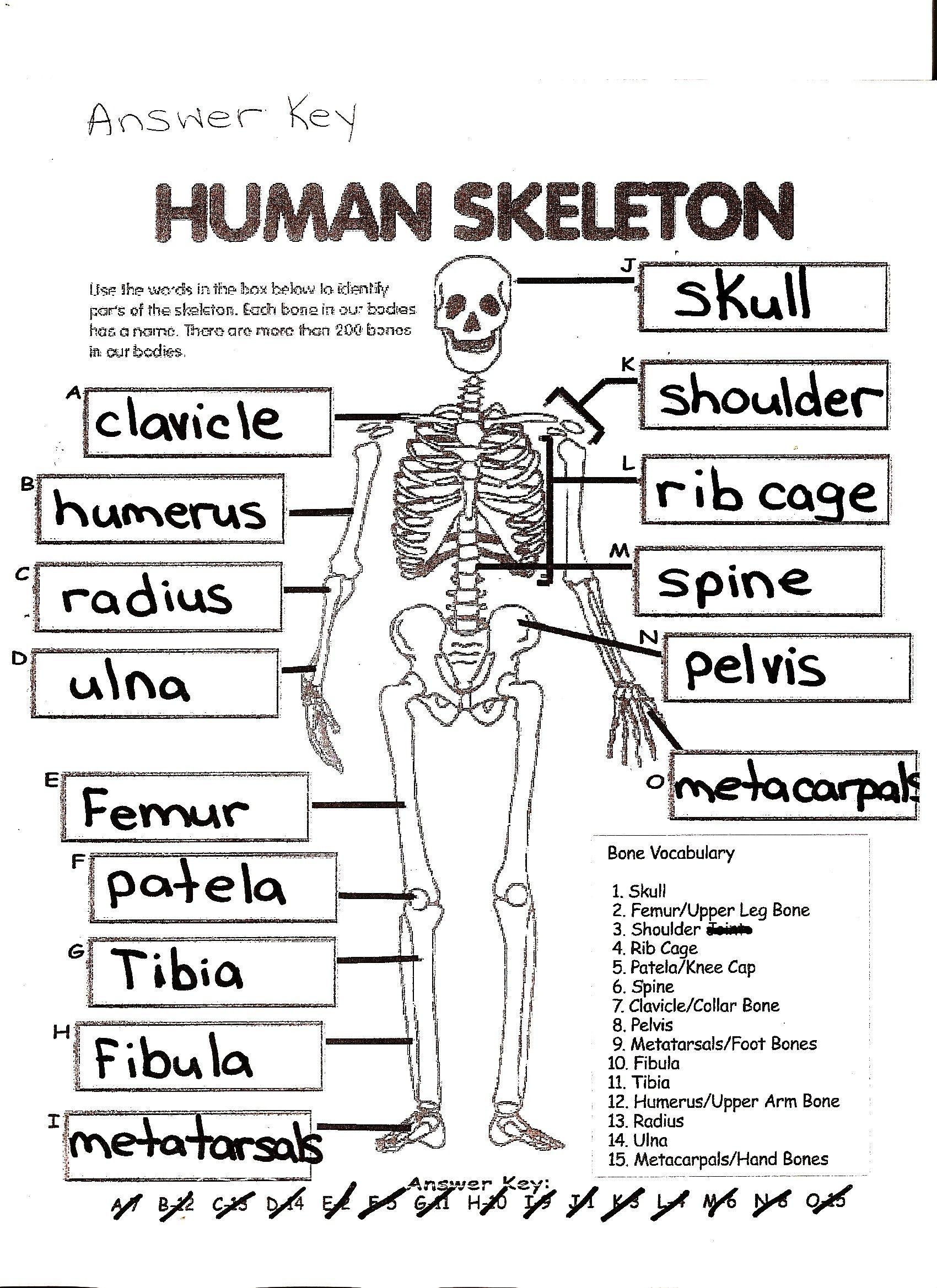7 General The Skeletal System Worksheet Answers In