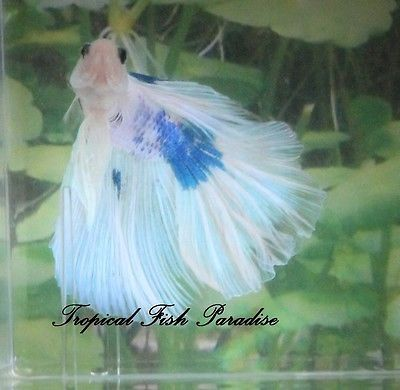 Blue-Green-White-Iridescent-Marble-Halfmoon-HM-Imported-Male-Betta-Fish-HM83