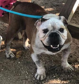 Bulldog Dog For Adoption In Katy Tx Adn 595811 On Puppyfinder