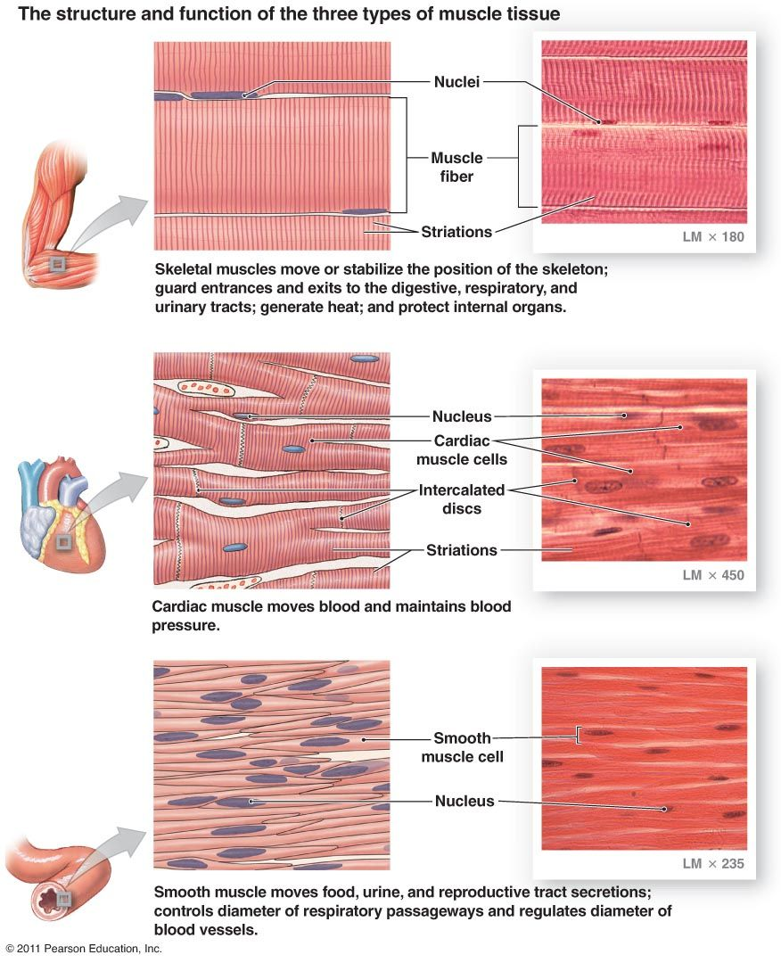 Muscle Types Histology Muscle Pinterest Muscles Anatomy And