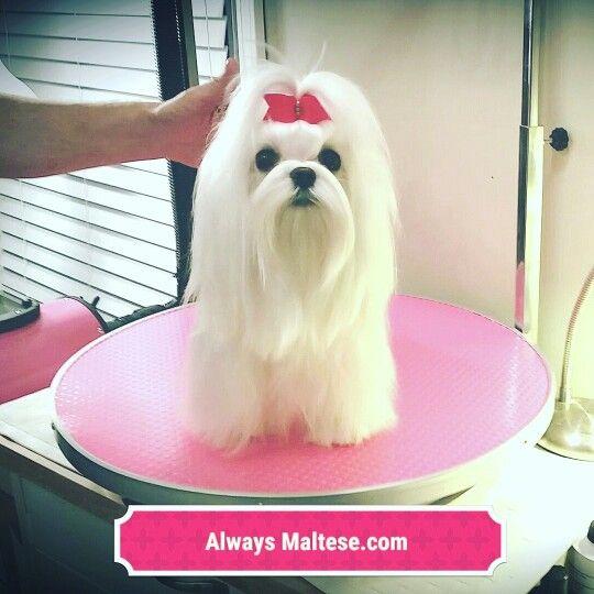 Www Alwaysmaltese Com Maltese Puppy Maltese Dogs Bright Eyes