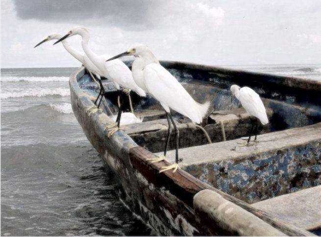 .these look like a boat load of White Egrets
