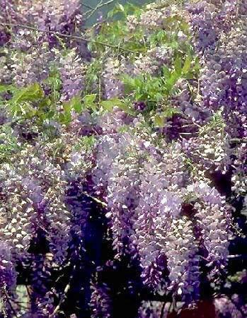 Wisteria sinensis - Glycine China