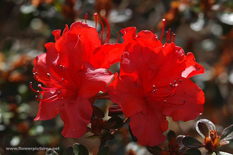 Evergreen azalea, 'Girard's Hot Shot'
