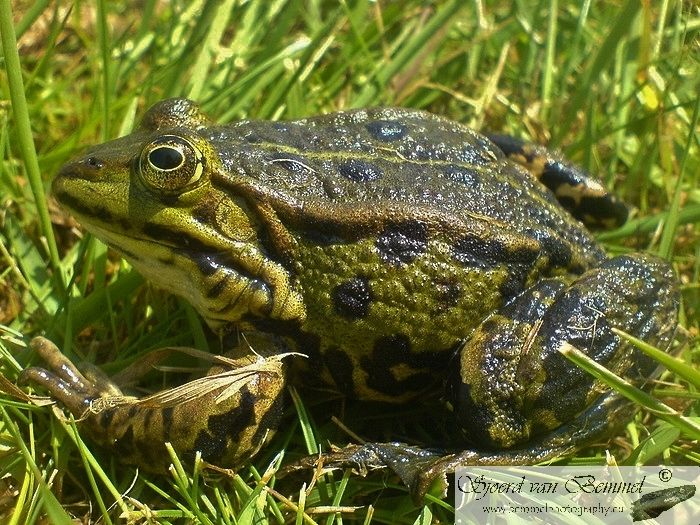 Edible Frog (Pelophylax kl. esculentus) - Flevoland, Netherlands