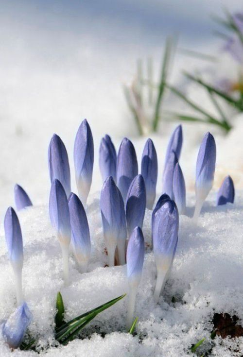 Purple Crocuses Through Snow Aufbruch Eclosion Pinterest