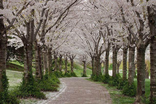Shirley Lord Google Beautiful Gardens Jacaranda Tree Pink Trees