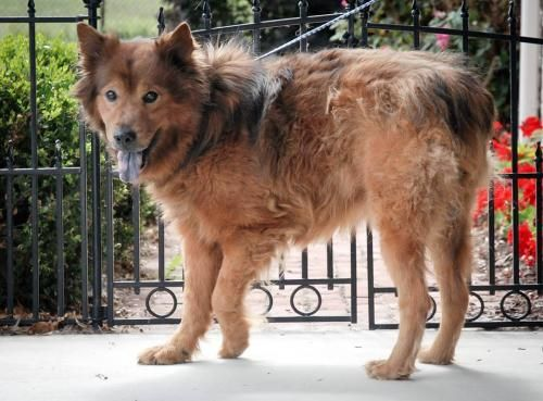 Adopt Nelson On Australian Shepherd Dogs Pets