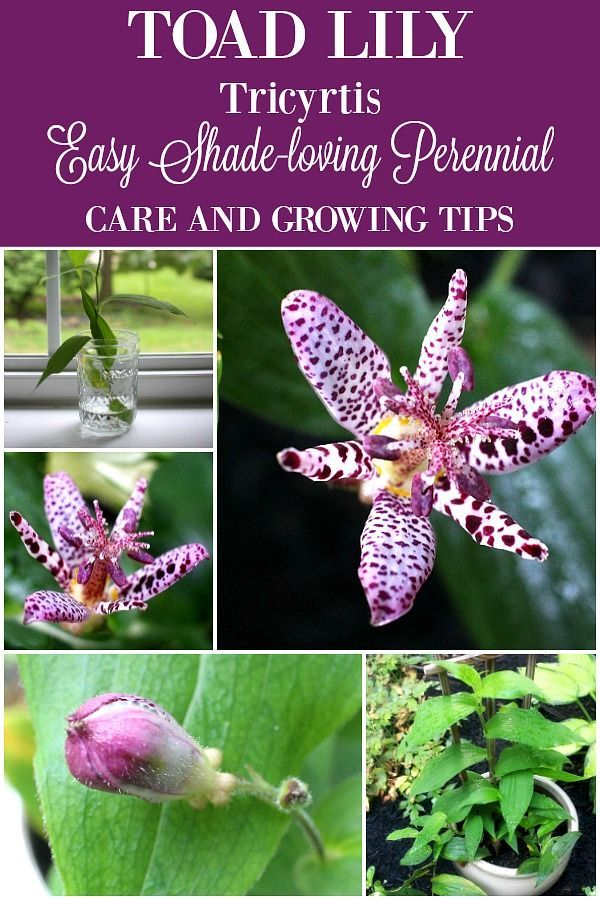 Toad Lily #shadeplantsperennial
