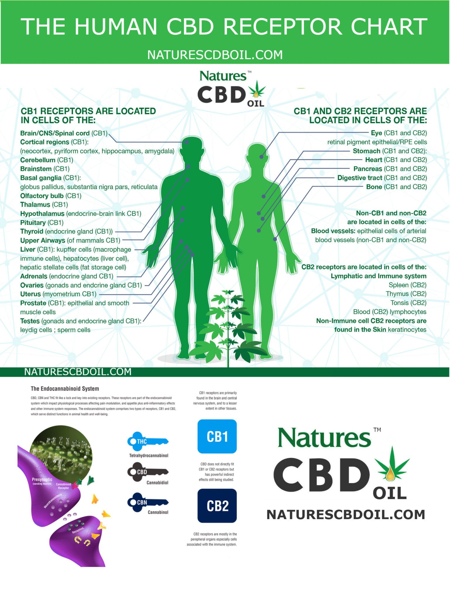 The Human Cbd Cb1 And Cb2 Receptor Chart Natures Pure Oil
