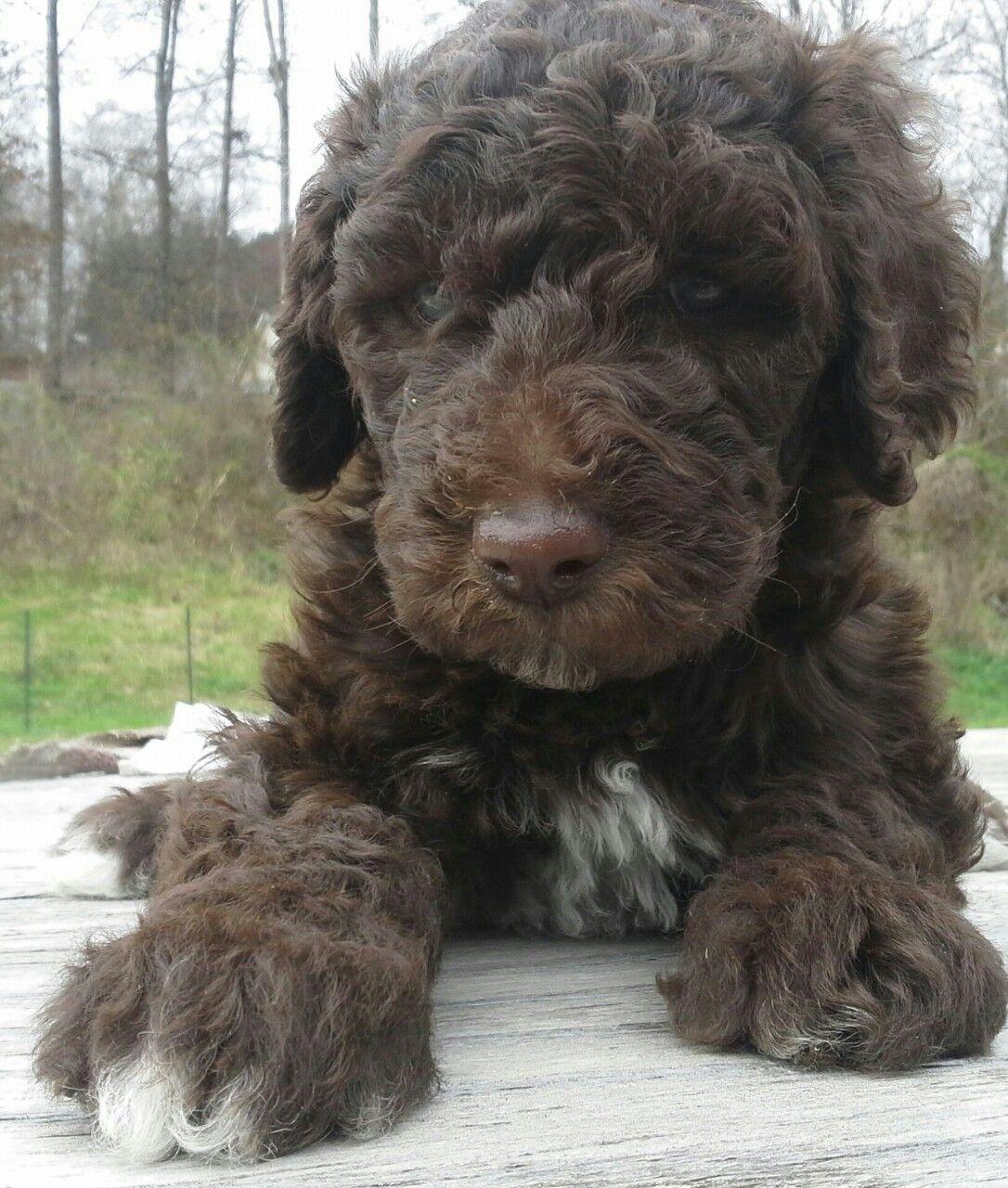 Charlie, the chocolate mismark Standard Poodle at 6 weeks