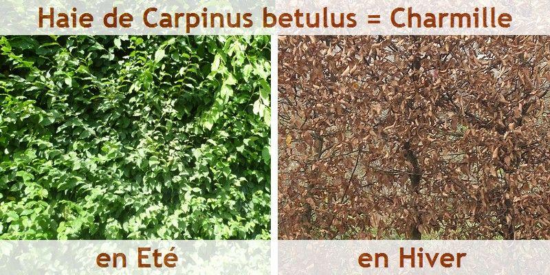 Haie de charme ou charmille en t et en hiver projet for Jardin hiver plantation